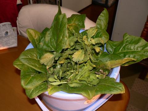 ベランダ野菜収穫 春菊とホウレン草