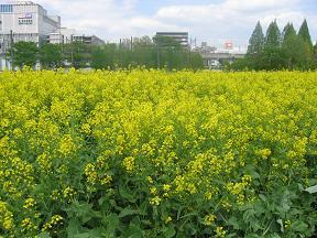 菜の花旗k