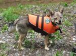 救命胴衣を着けた雑種犬
