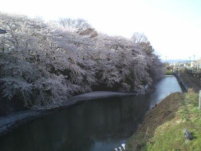 かじょう公園桜②