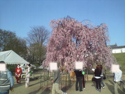 かじょう公園桜③