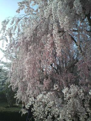 かじょう公園桜④