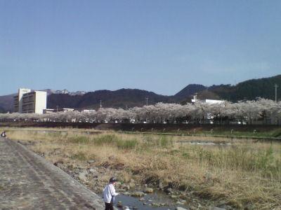 まみがさき桜