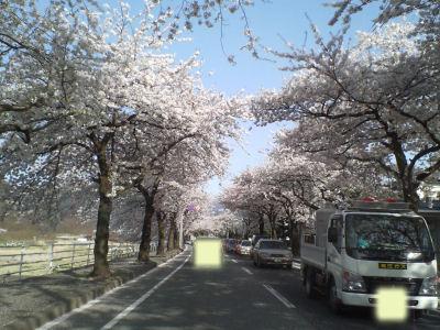 まみがさき桜?