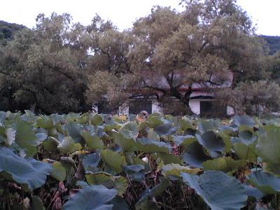 八幡宮・蓮の池