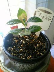 コーヒーの苗植替え1-2