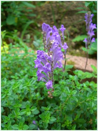 rasyoumonnkazura2009-5.jpg