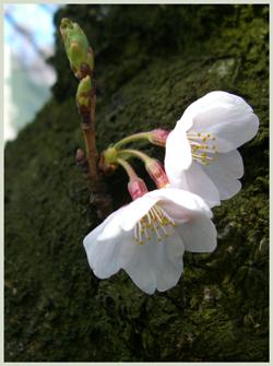 sakura-matukawa2009-4-3.jpg