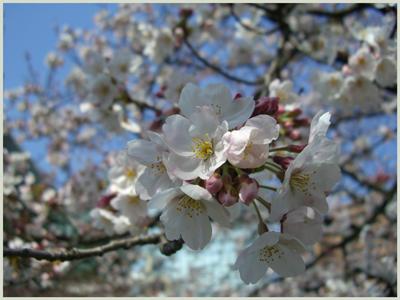 sakura-matukawa2009-4-5.jpg