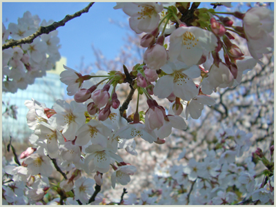 sakura-matukawa2009-4-6.jpg