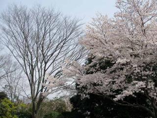 ケヤキと桜