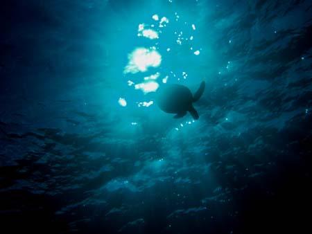 サイパンのアオウミガメ