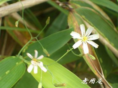 ニガナ(白花)