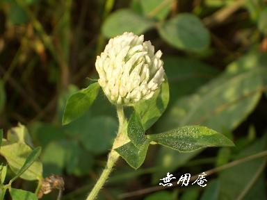 アカツメクサ白花