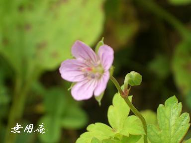 ゲンノショウコ紅花
