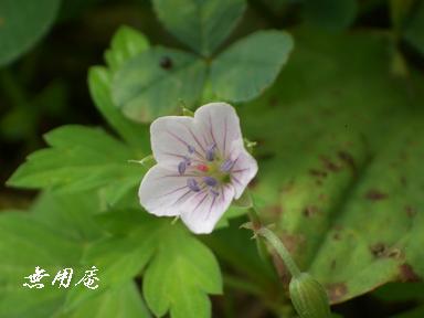 ゲンノショウコ白花