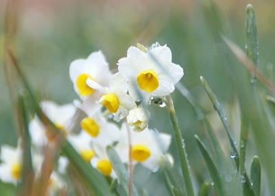 0209本庄川ダムの水仙の花