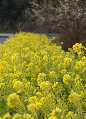 0217菜の花と白梅