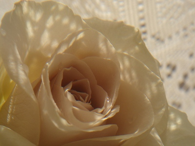 カーテン越しのバラ