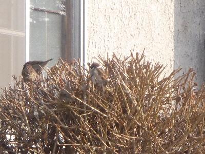 レンギョウで、休む雀