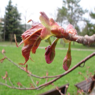 ふっくらつぼみの桜
