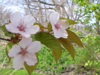 あの森の桜