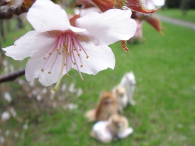 あいのさと公園の桜