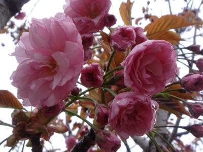 八重桜開花宣言!