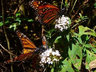 mariposa monarca 5