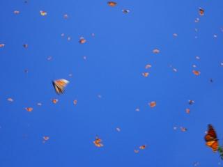 mariposa monarca 6