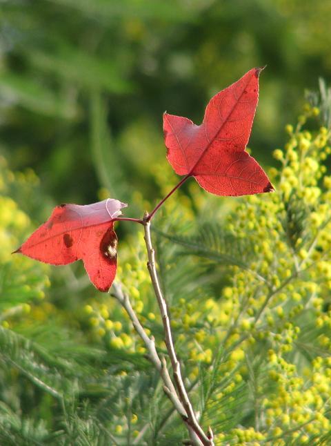 赤い葉2枚