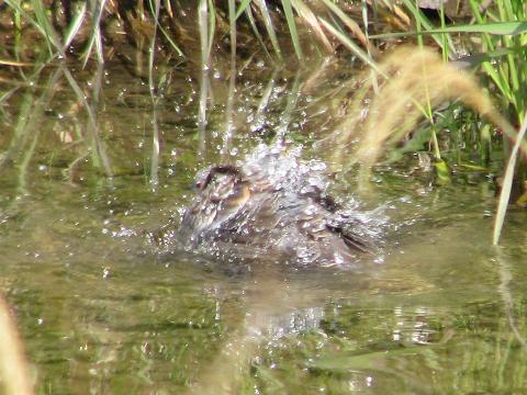 ハトの水浴び2