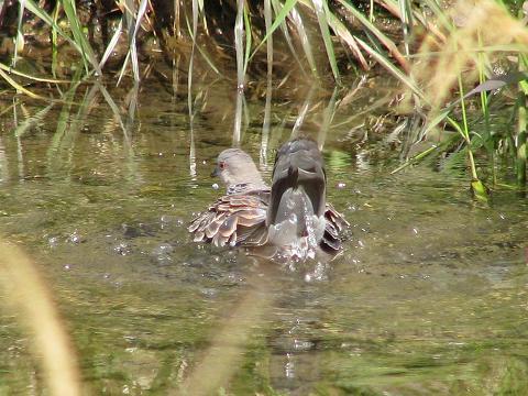 ハトの水浴び3