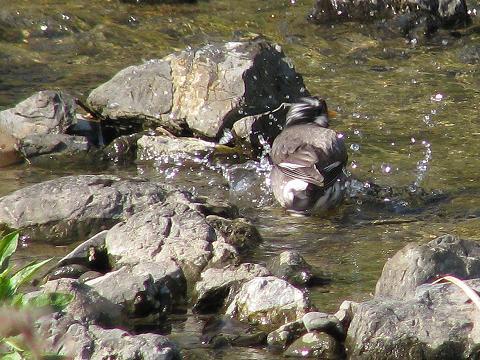 椋鳥水浴び