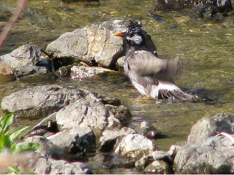 椋鳥水浴び2