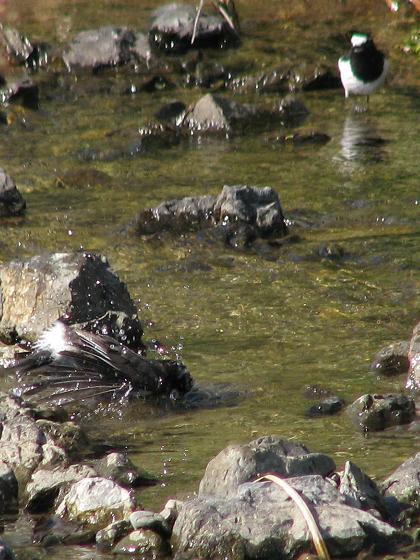 椋鳥水浴び3