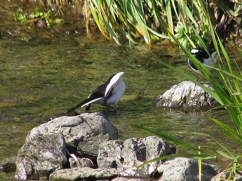 2羽のセグロセキレイ2