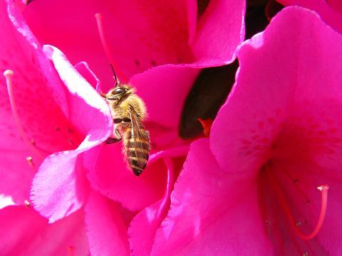 ツツジとハチ
