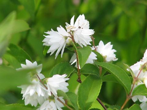 白花八重空木2