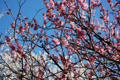 丸子梅園の梅
