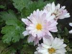 町で見かけた花シリーズ08303