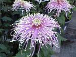 町で見かけた花シリーズ08328
