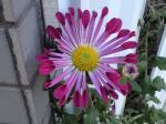 町で見かけた花シリーズ08333