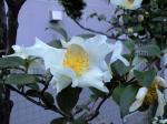 町で見かけた花シリーズ08336