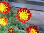 町で見かけた花シリーズ08342