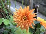 町で見かけた花シリーズ09hana011