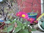 町で見かけた花シリーズ09hana020
