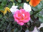町で見かけた花シリーズ09hana022