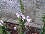 町で見かけた花シリーズ09hana023