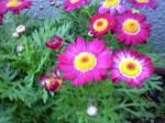 町で見かけた花シリーズ09hana037